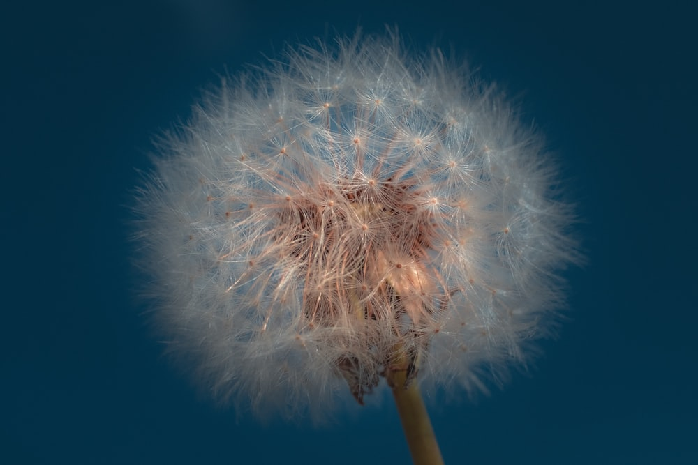 closeup photography of dandelion
