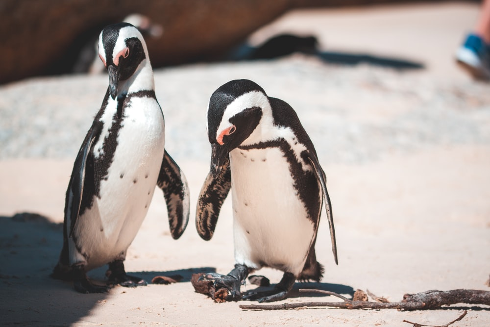selective focus photography of two white-and-black penguins
