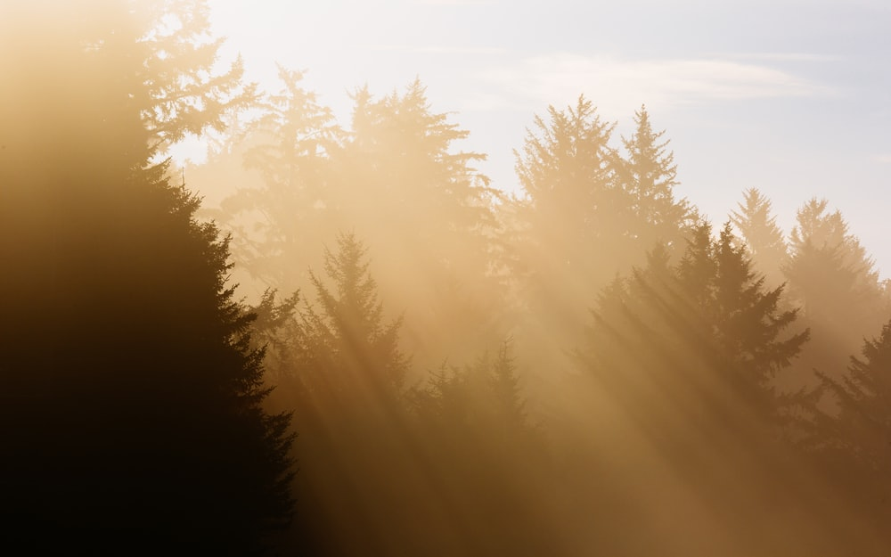 trees with sun rays