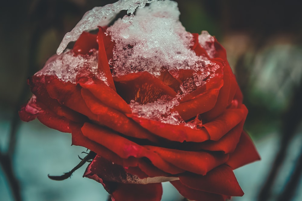 selective focus photo of red rose flower