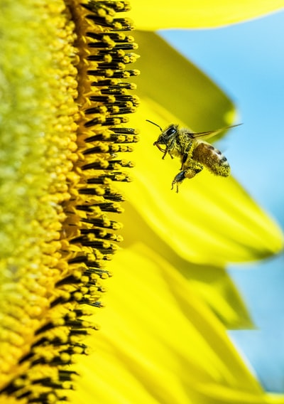 Bees work very hard and do a fantastic job of cross pollinating fruit trees, vegetable flowers, etc., which provide us with food. This one is covered in sun flower pollen, and is obviously doing a good job, so that there should be a huge crop of sun flower seeds.