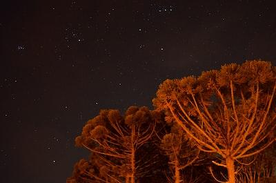 tall trees under stars