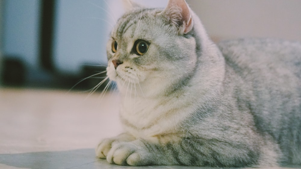 gray and white coated cat
