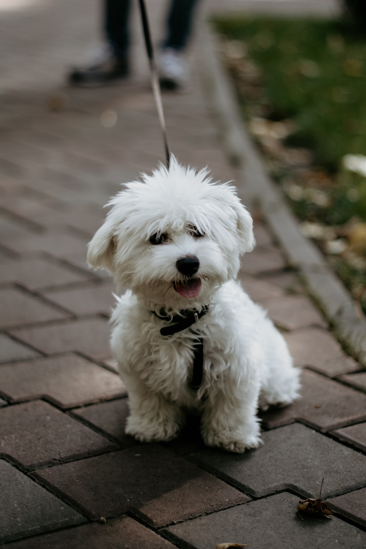 medium-coated white dog on brown brick ground