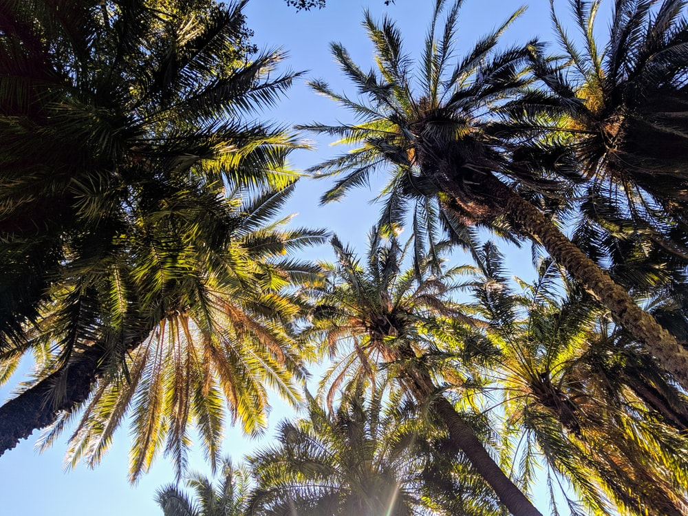 worms-eye view of palm trees