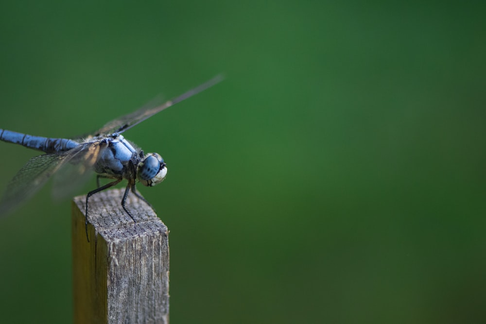 close-up photography of blue dragonfly