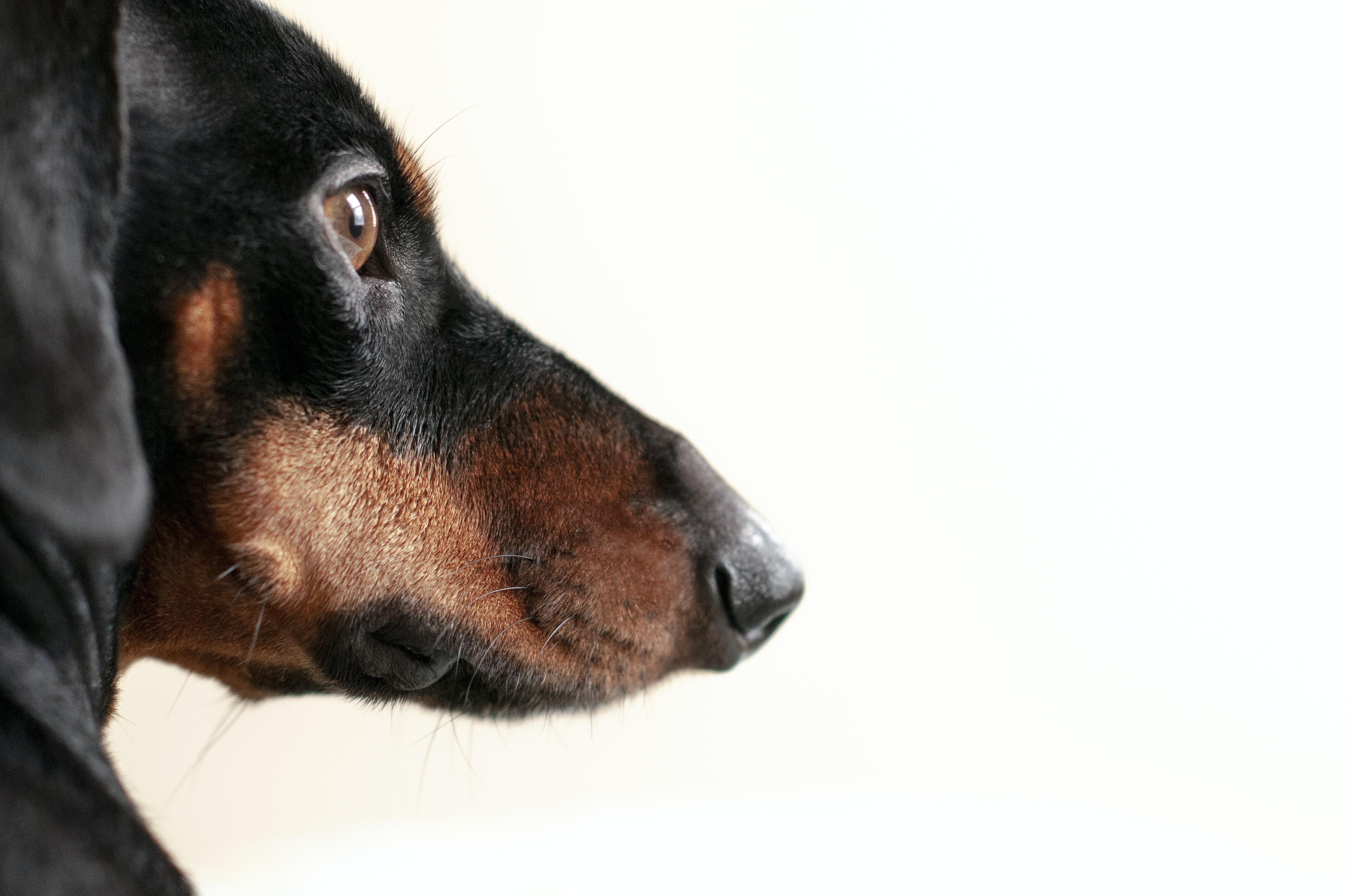 black and tan German Shepherd puppy