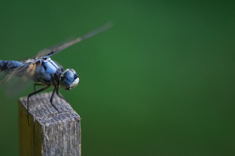 selective focus photo of blue dragonfly perch on brown stick