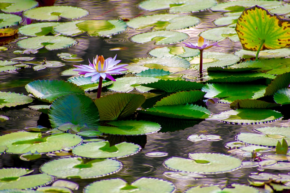 close-up of purple petaled flower on body of water