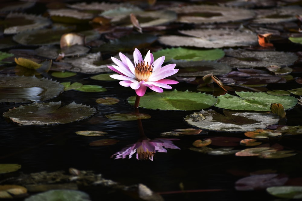 pink lily on water