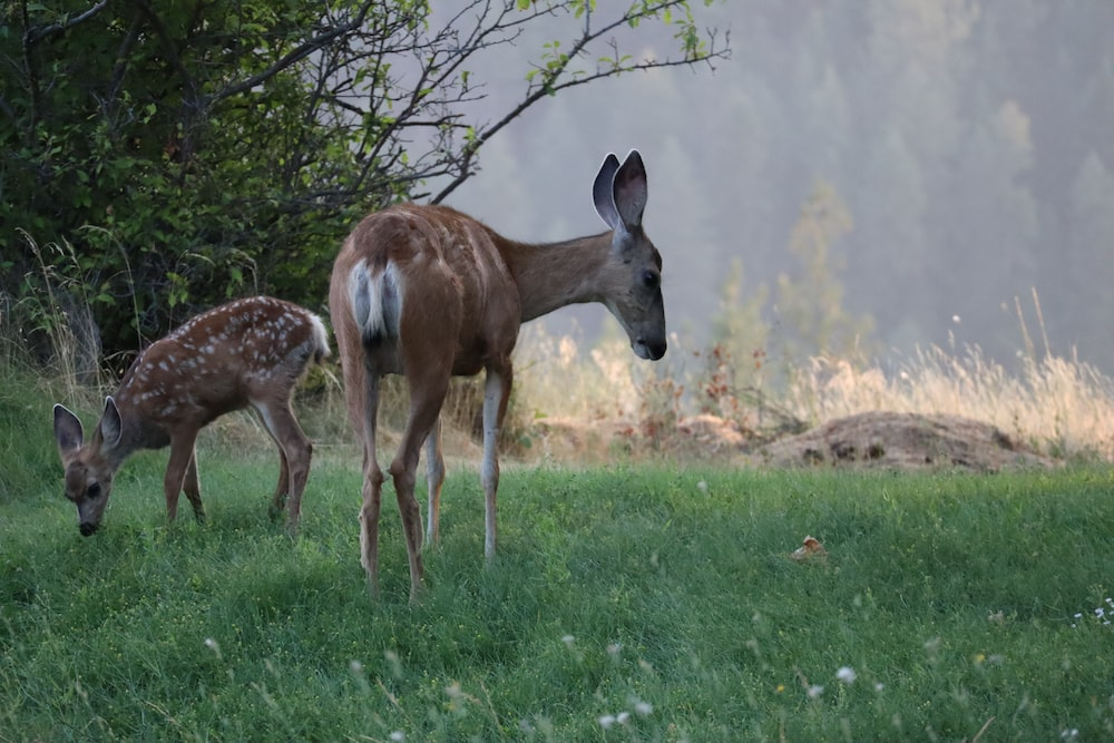 two brown deers on ground during daytime