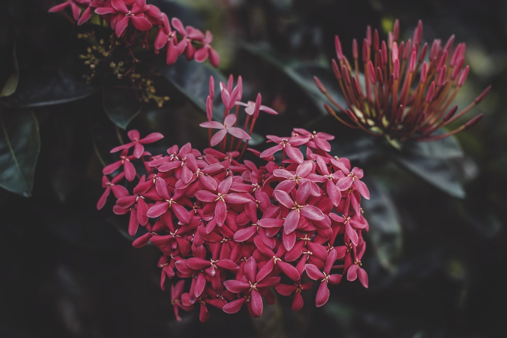 selective focus photography of red ixora flower