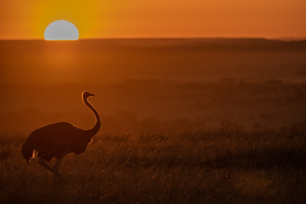 silhouette of ostrich during golden hour