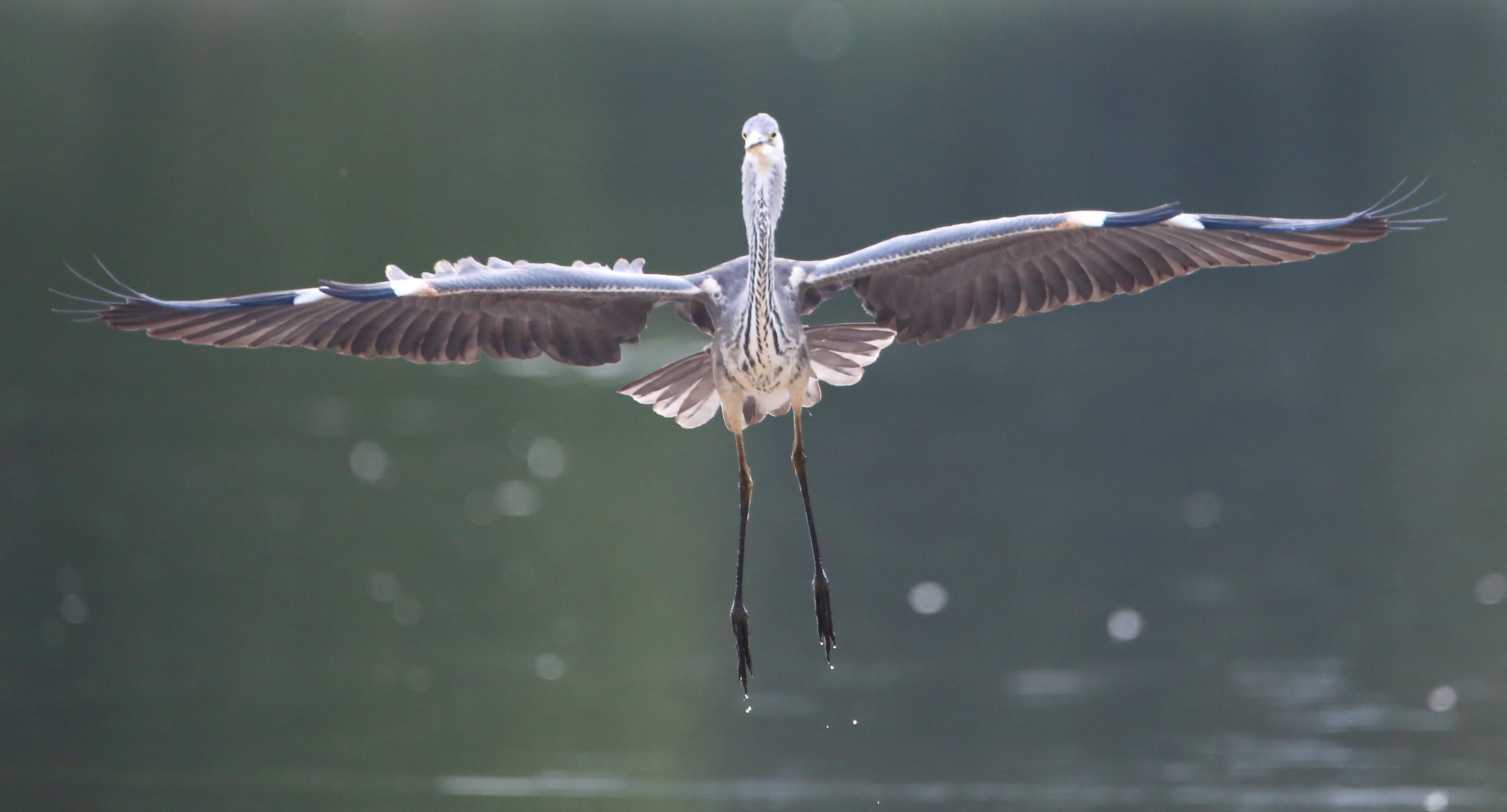 selective focus photography of grey heron flying above body of water
