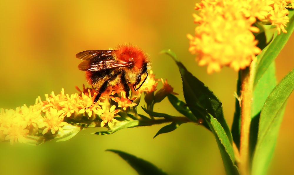 selective focus photography of bee perching on yellow flowers