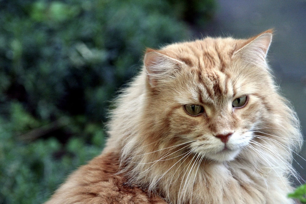 selective focus photography of long-furred brown cat