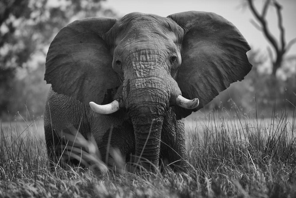 adult elephant at the field