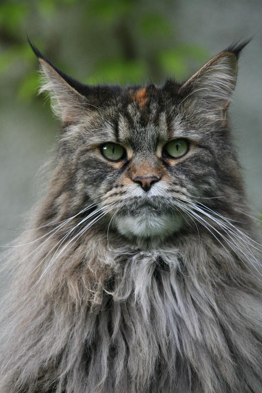 long fur gray cat