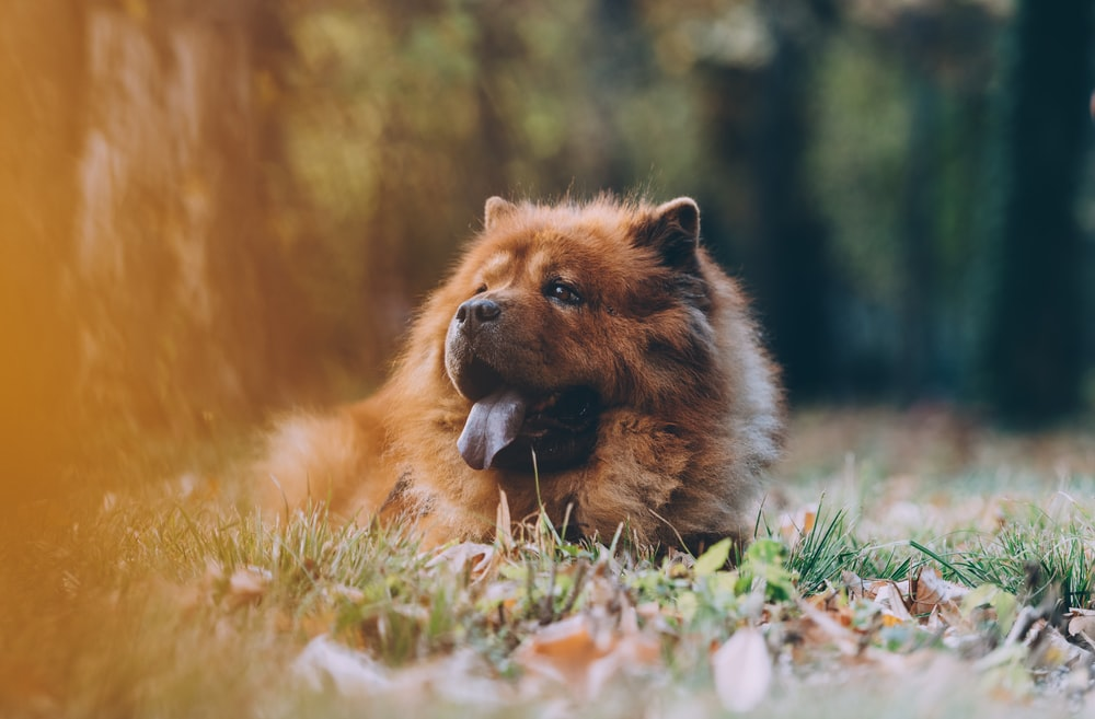 brown chowchow lying on ground