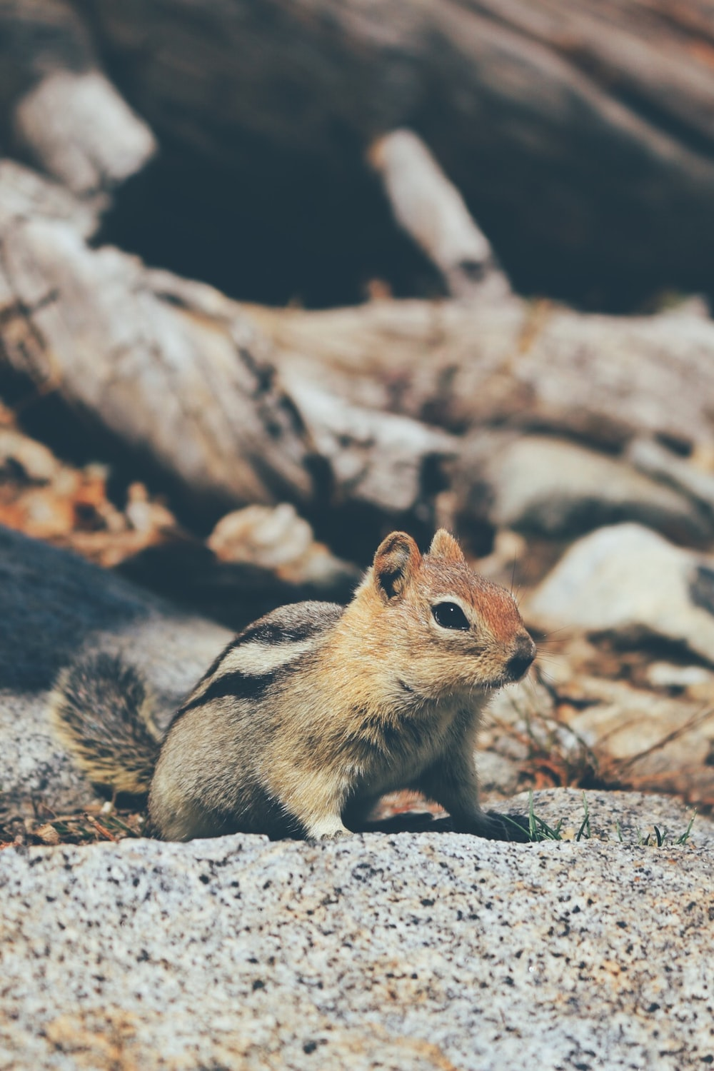 brown and black squirrel