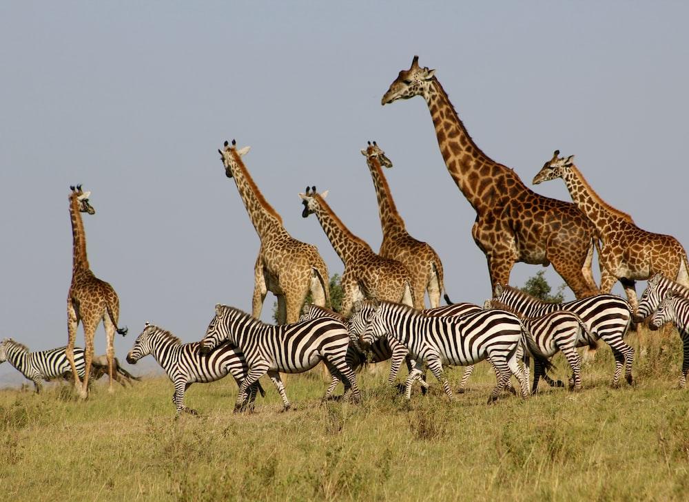 group of giraffes and zebras