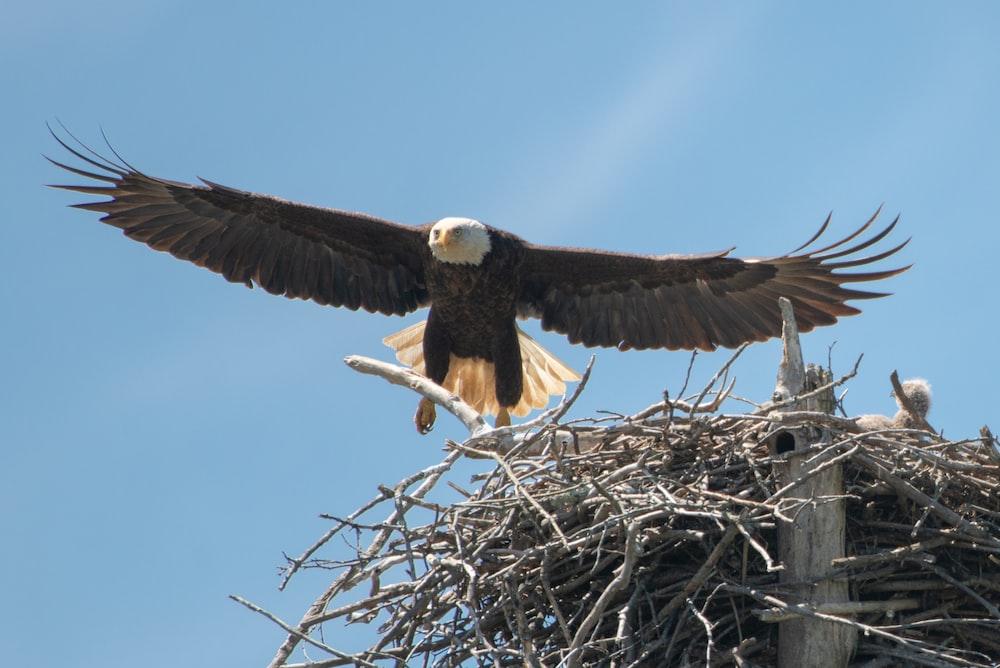 Eagle soaring near nest