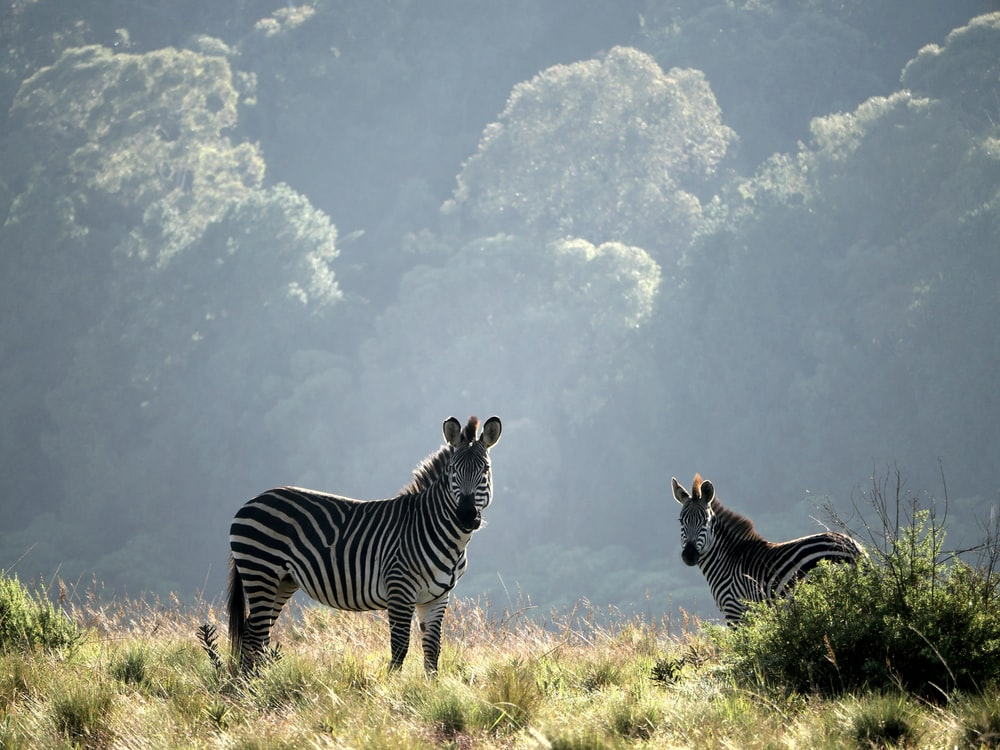 two zebras standing on grasses