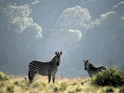 two zebras standing on grasses malawi teams background