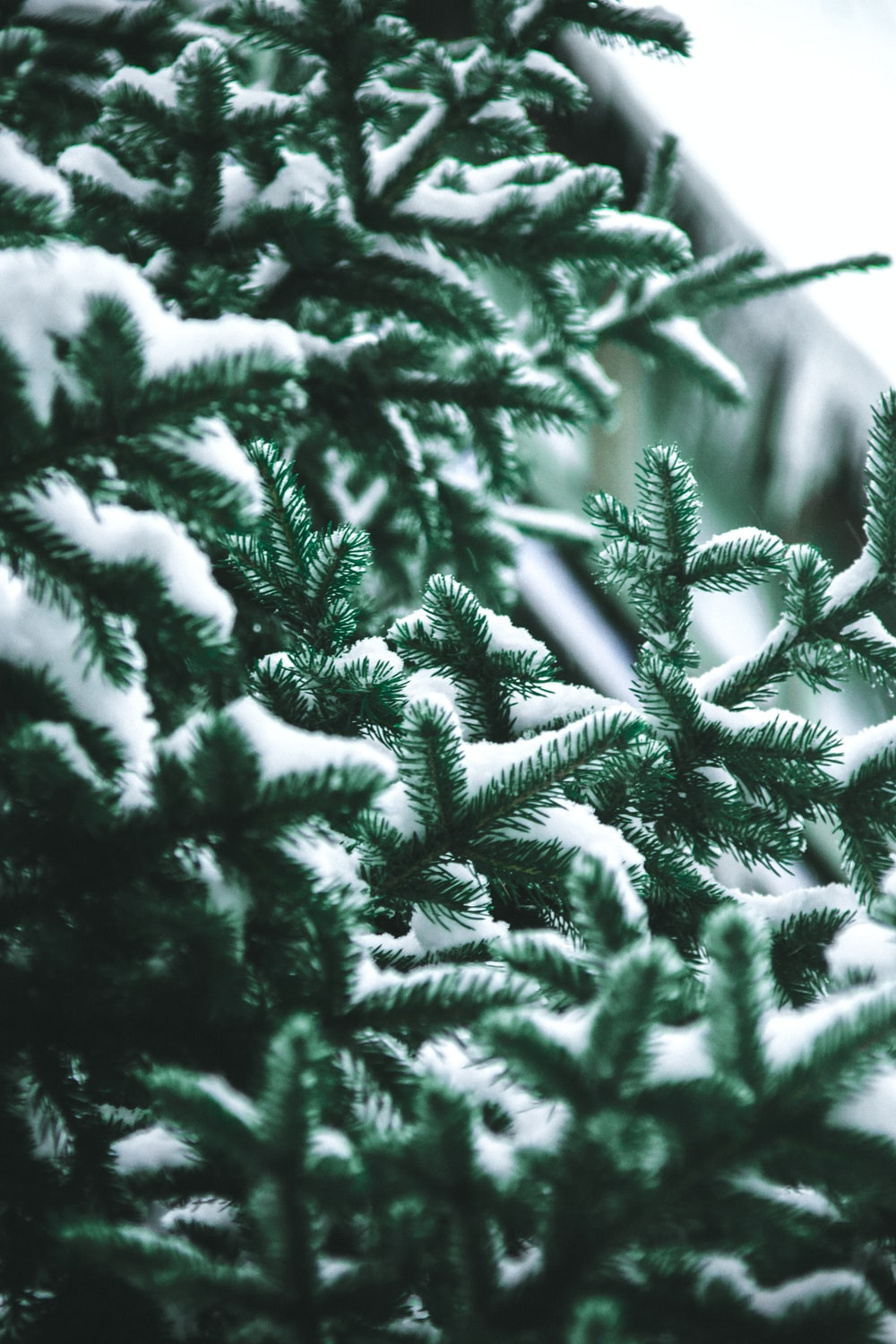 close-up photography of snow covered green pine trees