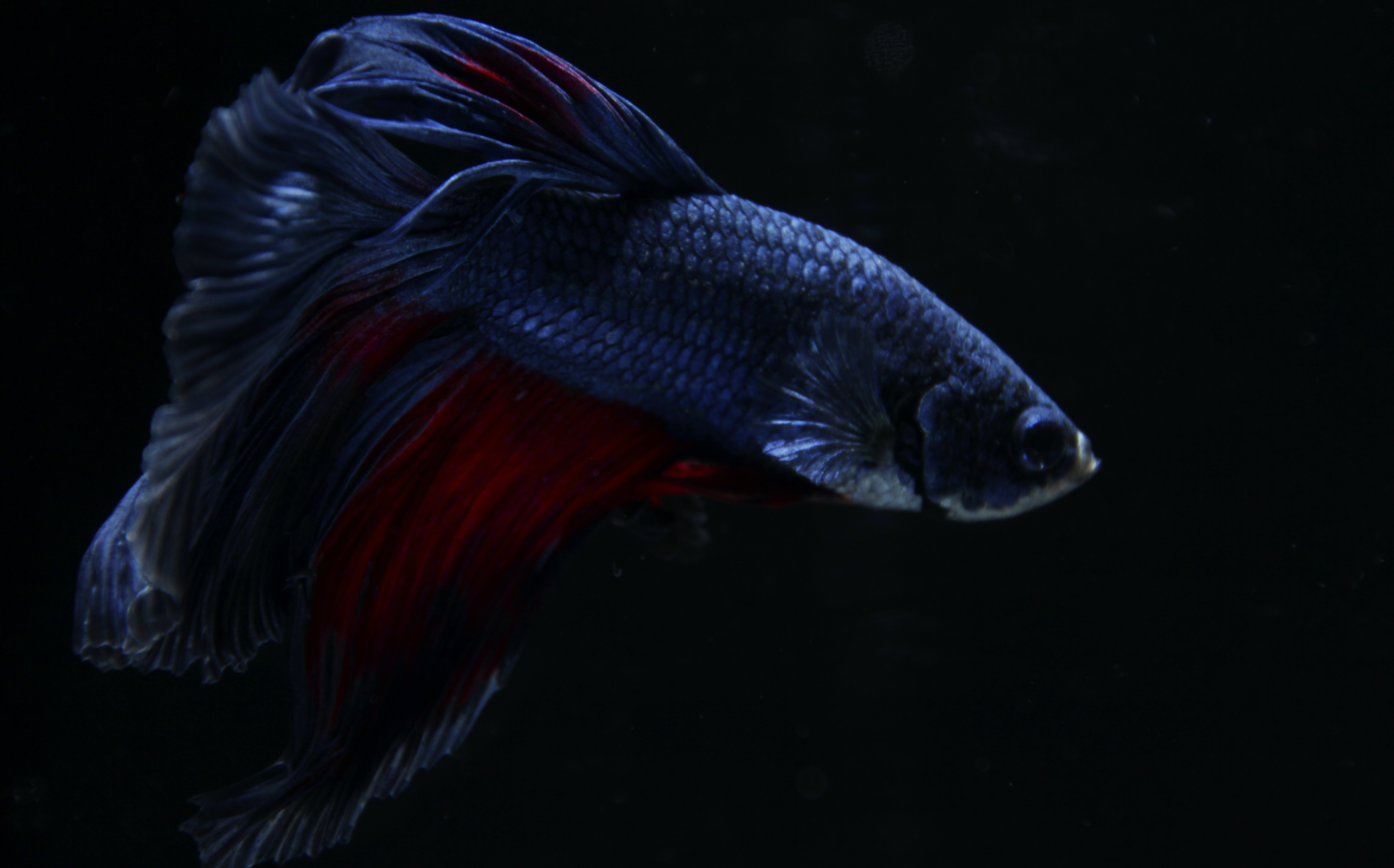 100 betta fish pictures download free images on unsplashblack and red betta fish wallpaper
