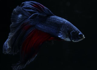 black and red betta fish wallpaper