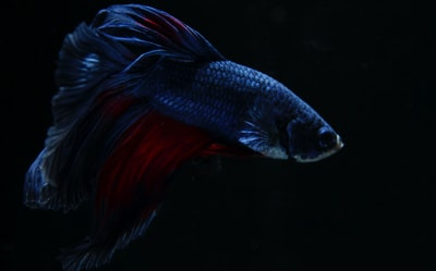 black and red betta fish wallpaper