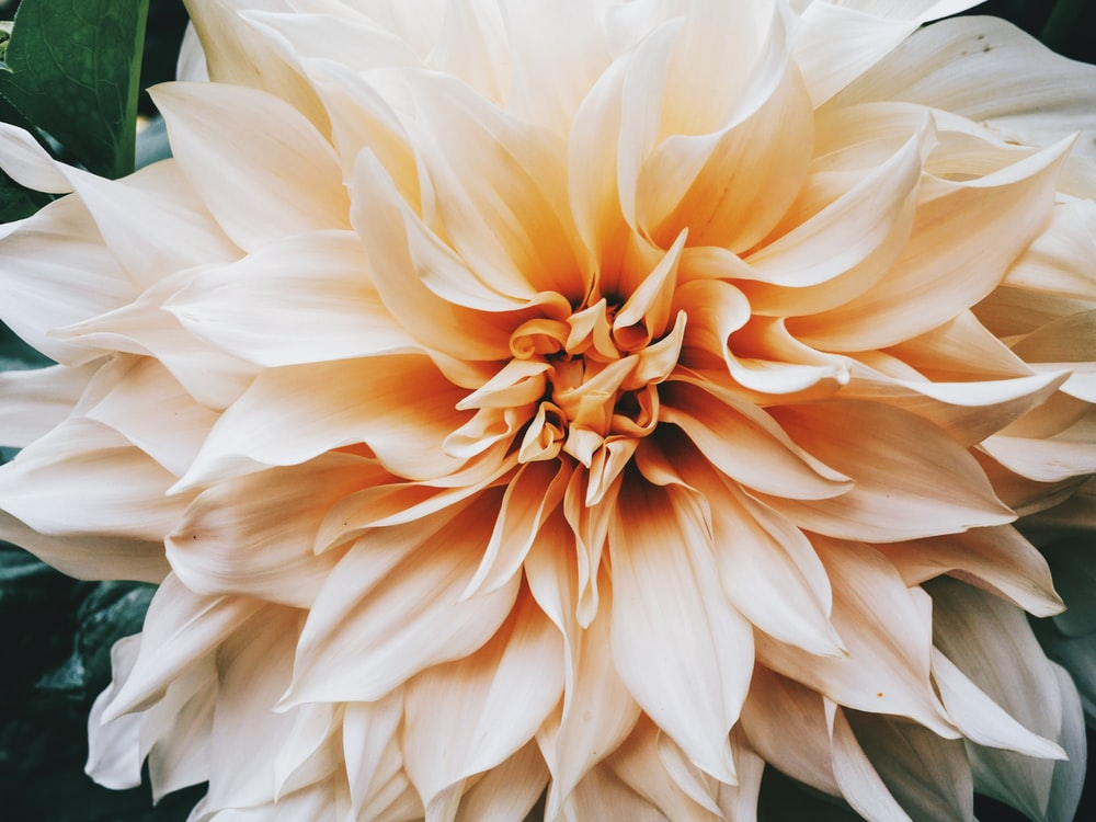 selective focus photography of peach Dahlia flower in bloom