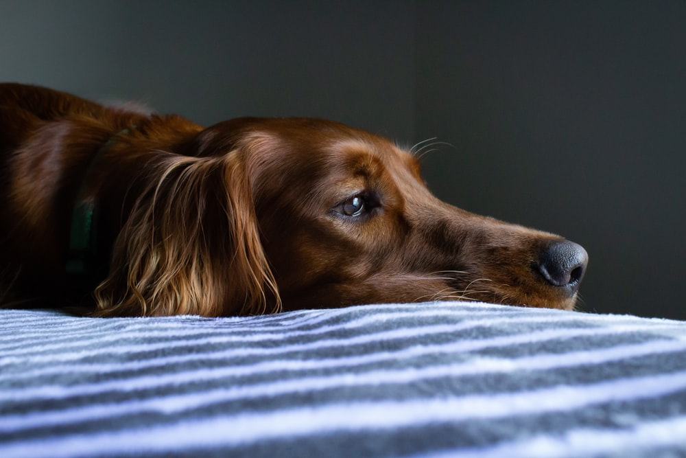 short-coat brown dog lying on blue and white striped bedspread