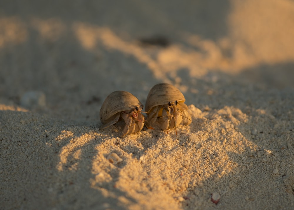 two brown hermit crab on sand at daytime