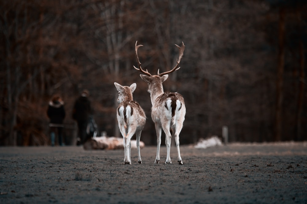 selective focus photography of two deer in park