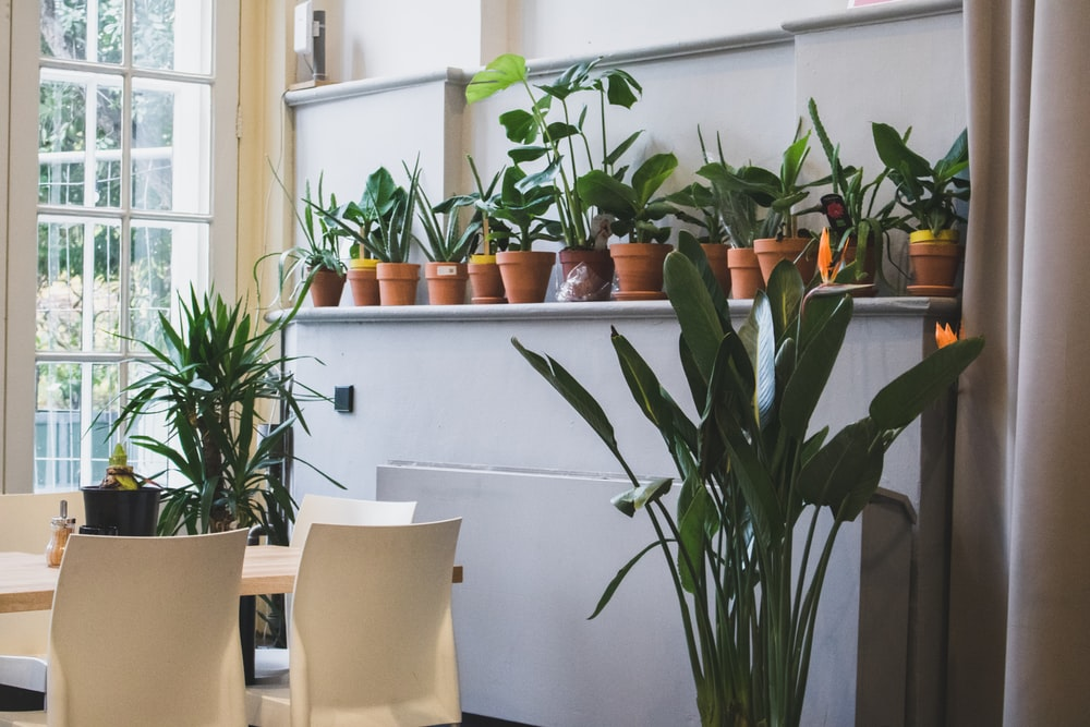 green leaf plants on individual pots near dining table inside room