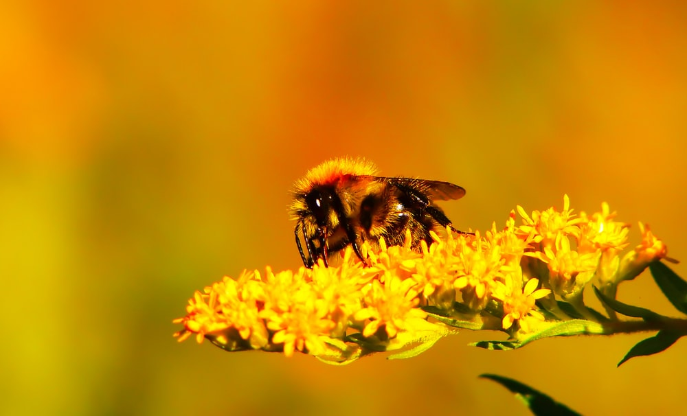 selective focus photography of bee on yellow flower