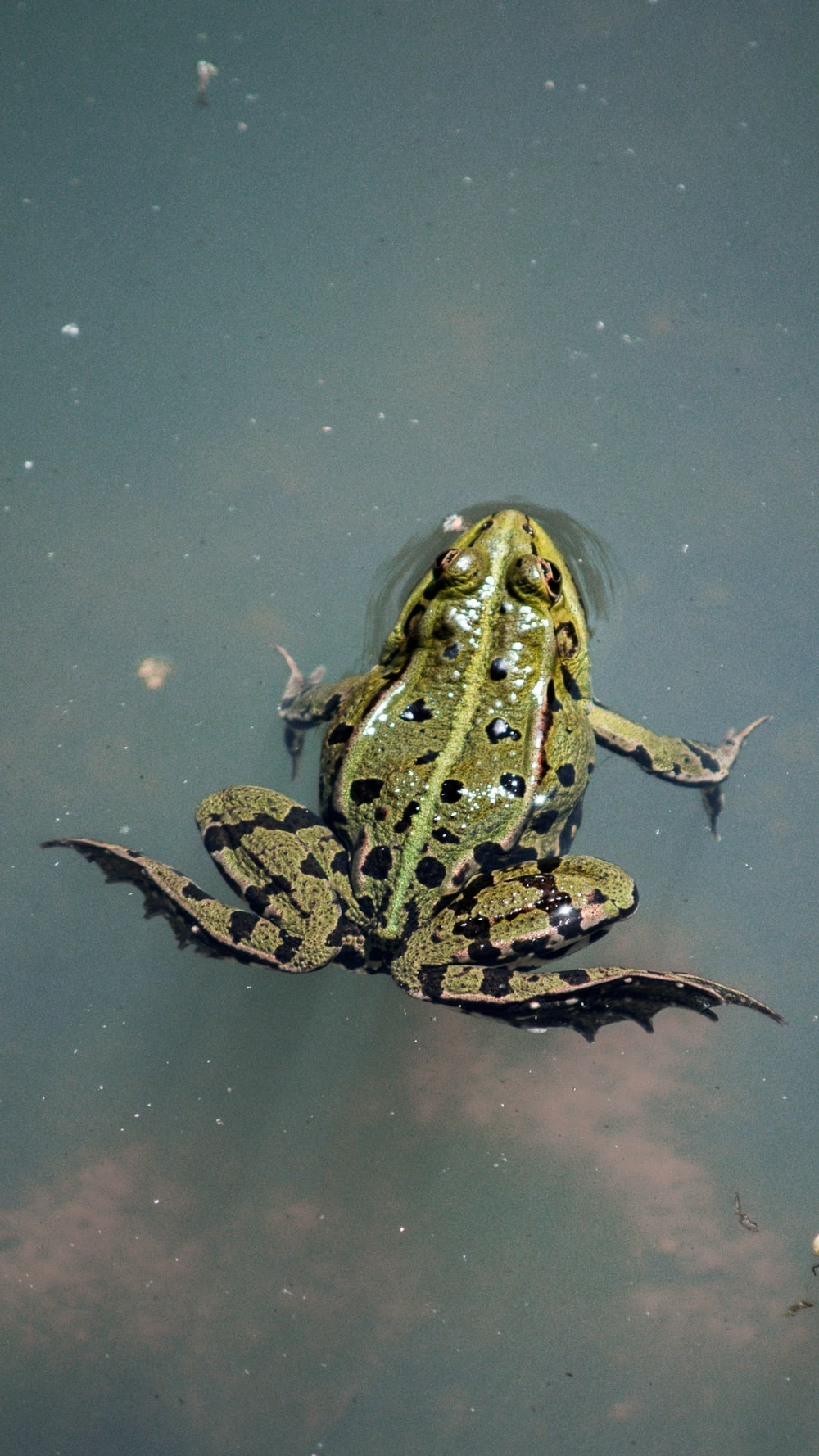 brown and black frog on water