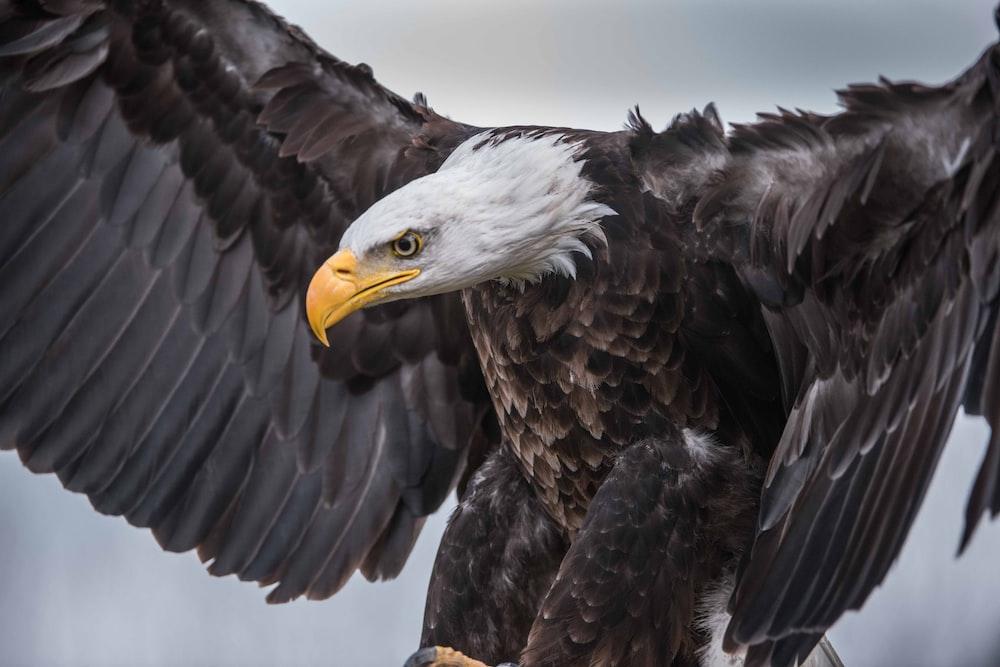 shallow focus photo of bald eagle