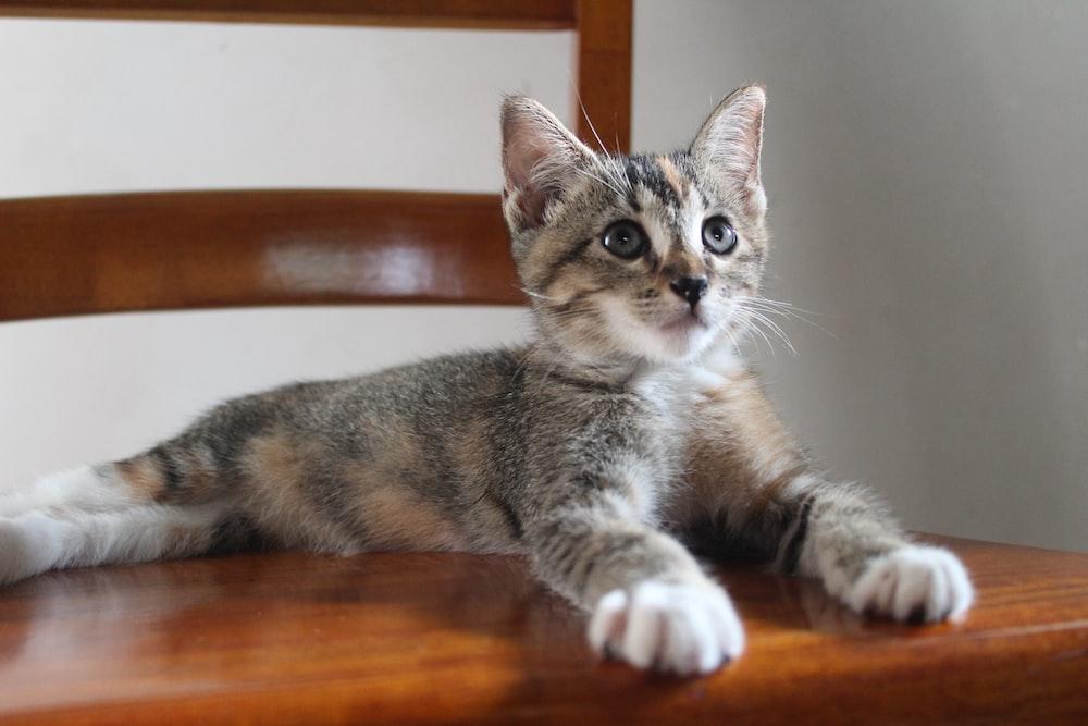 brown tabby kitten lying on wooden chair