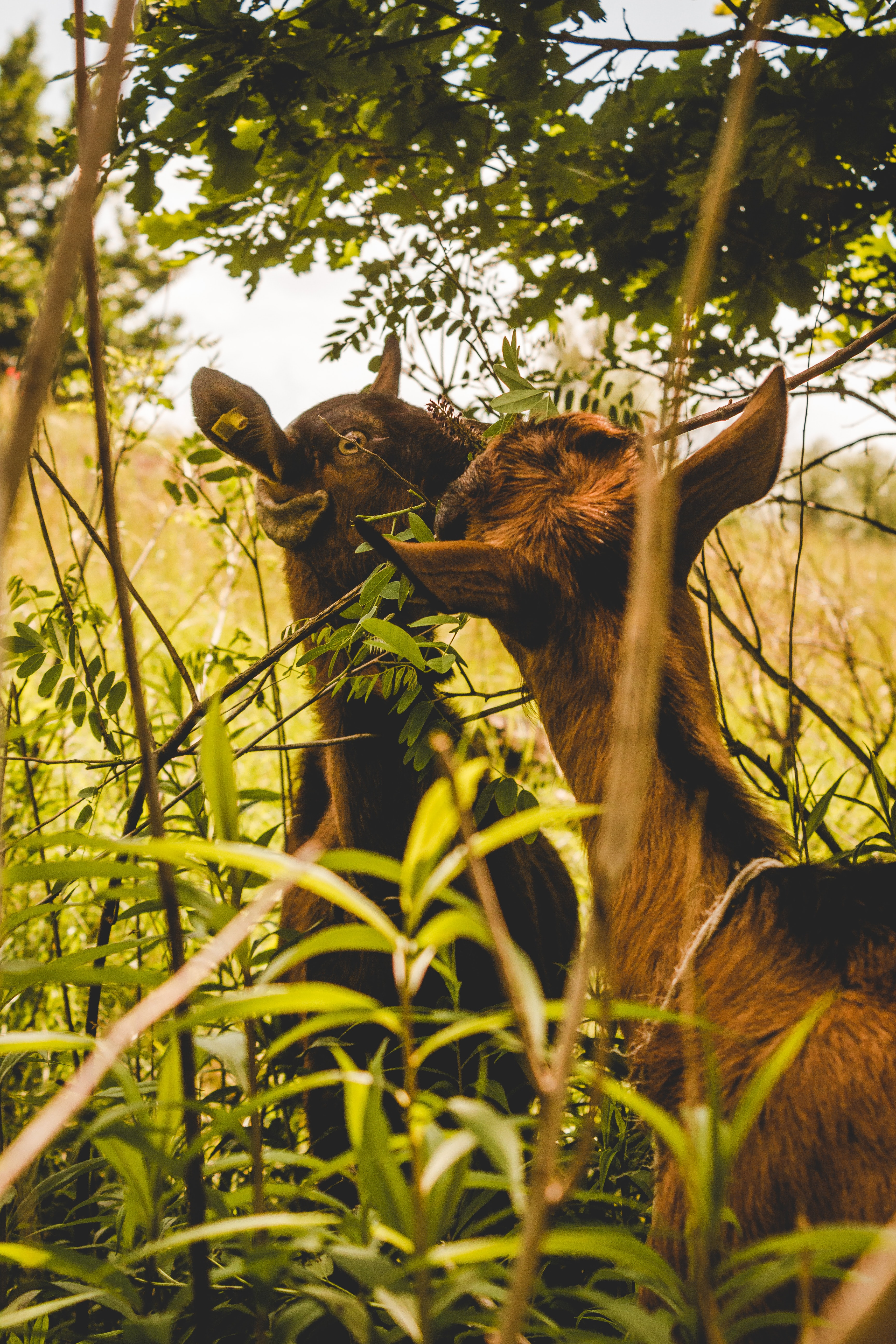 two kid goats eating grass