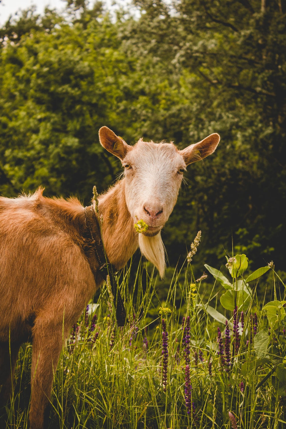 brown goat at forest eating grass