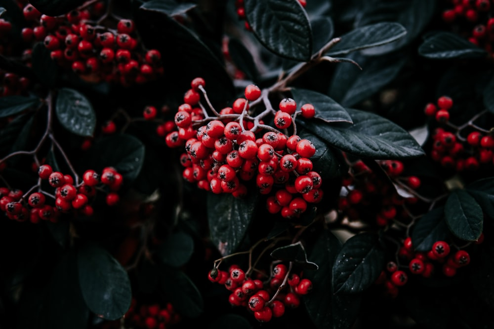red berries view