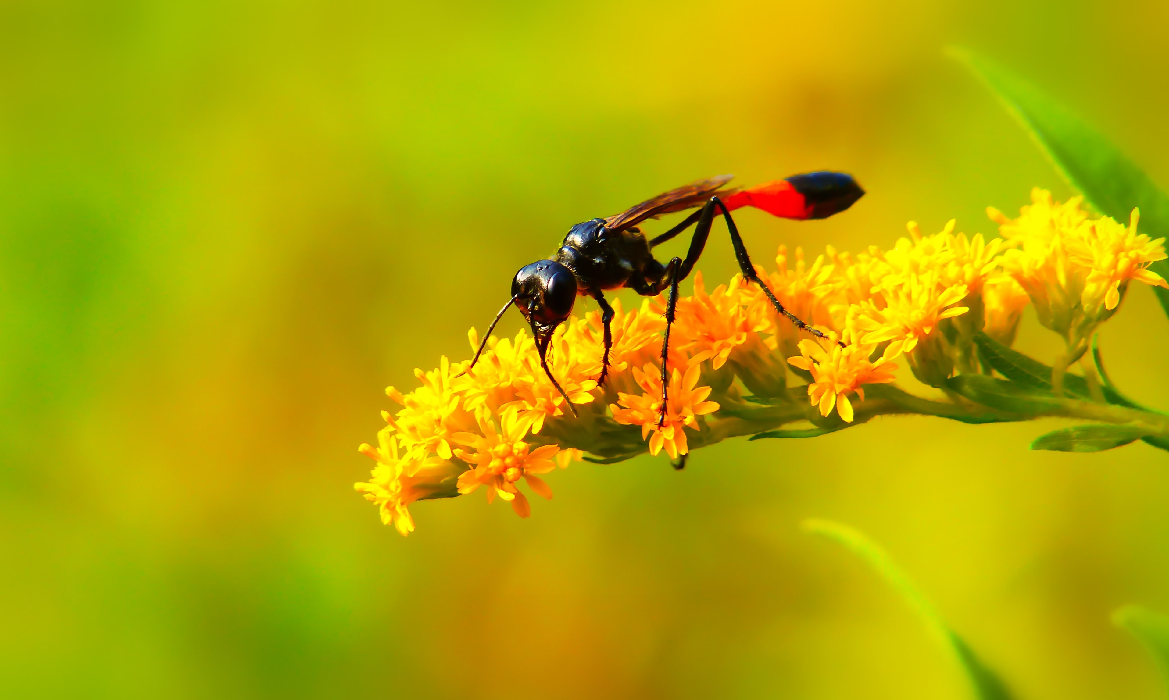 black and red fly perched on yellow flower