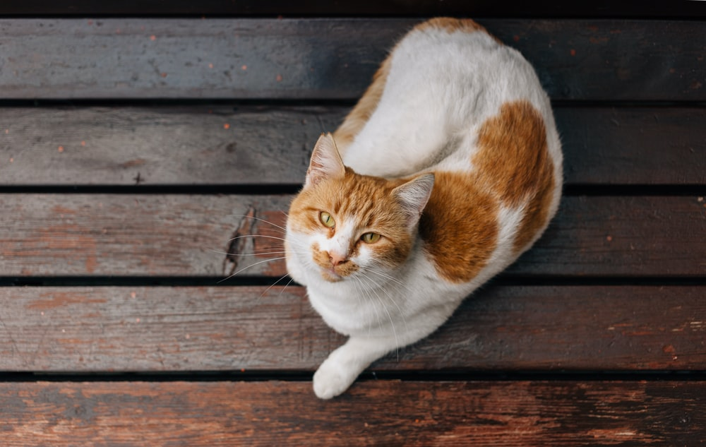 orange and white cat on floor
