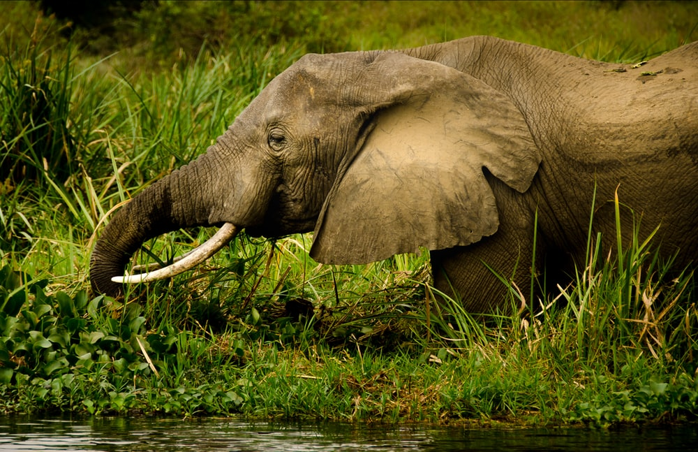 black Elephant walking