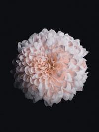 pink dahlia flower in bloom