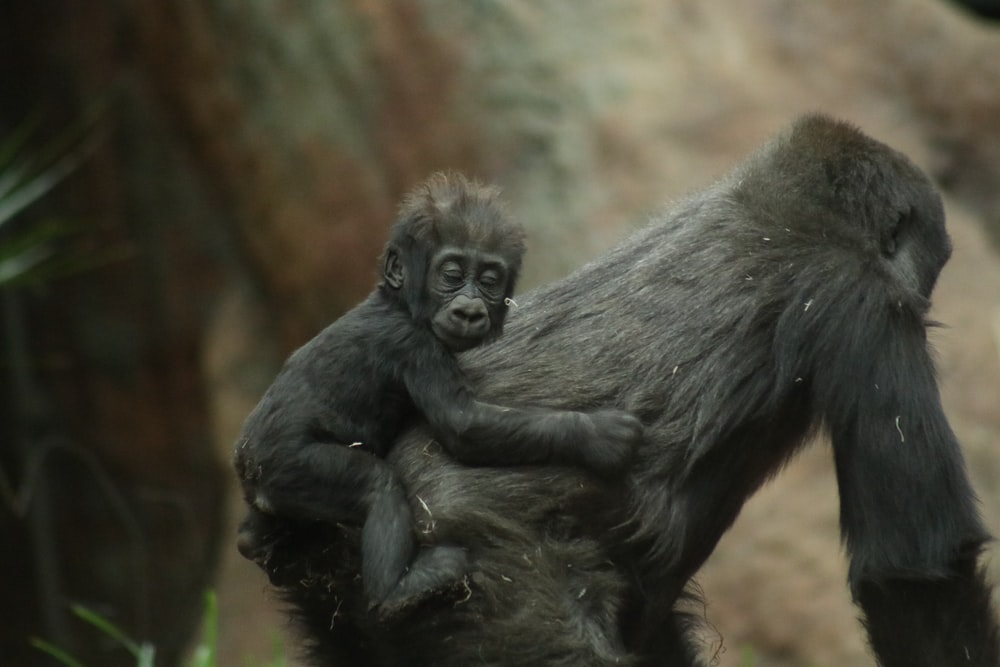 baby primate on back of adult primate