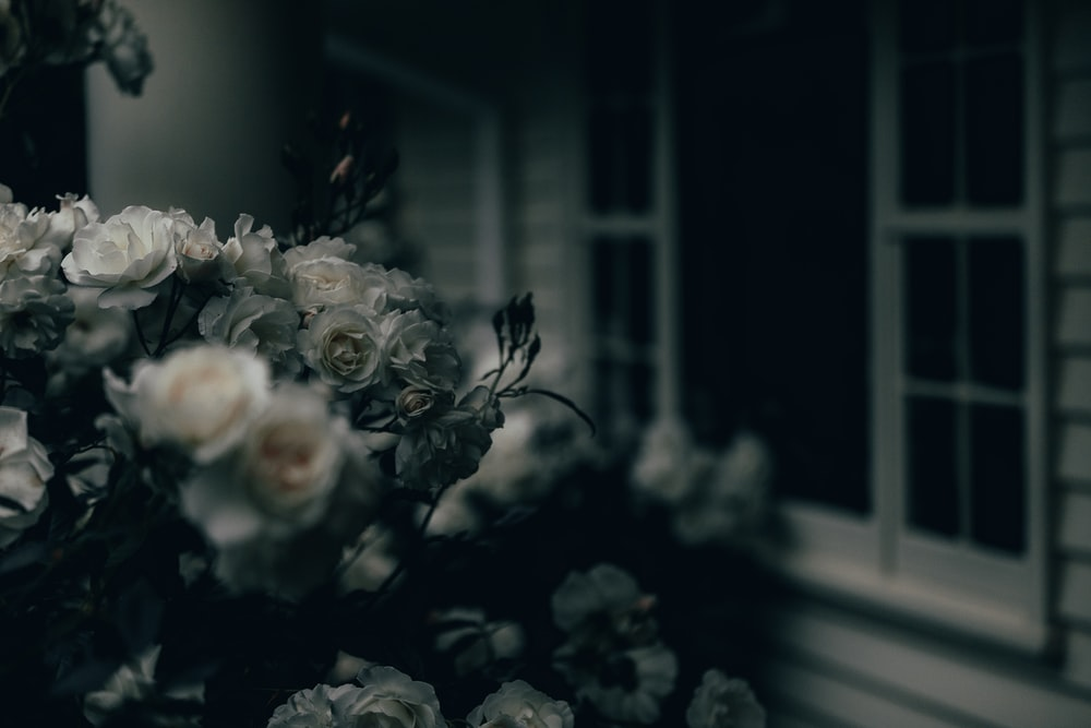 white roses near window